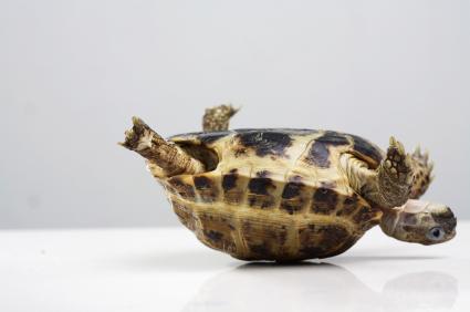 iStock_000003668316XSmall-stuck-turtle