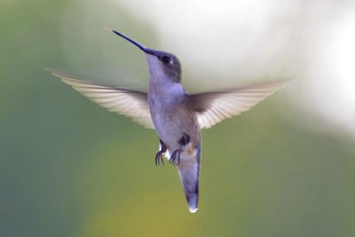 hummingbird500_10-2013